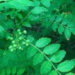 山椒の木の育て方・剪定の仕方・挿し木・種類・防除・縁起について