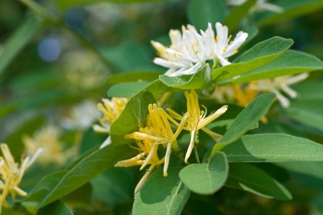 ヒョウタンボクの育て方・剪定・種類・花言葉について