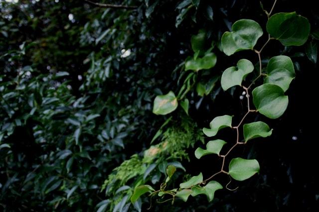 サルトリイバラの葉の保存方法・食べ方