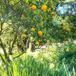 みかんの木はどのくらいが寿命?成長の過程と枯れる時について