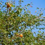 大きくなりすぎた柿の木を小さくしたい時の剪定方法をお教えします