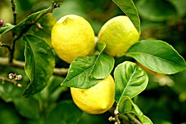 レモンの木の考えられる枯れる原因と対策をまとめました!
